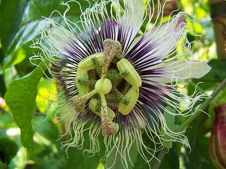 Passiflora, Edulis X Colvilli, Creeper, Hybrid