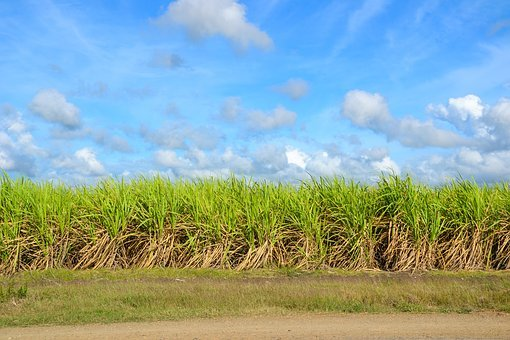 Sugar Cane, Field, Cultivation, Cultures, Agriculture