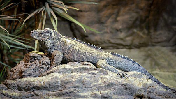 Iguanas, Rhinoceros Iguana, Cyclura Cornuta, Reptile