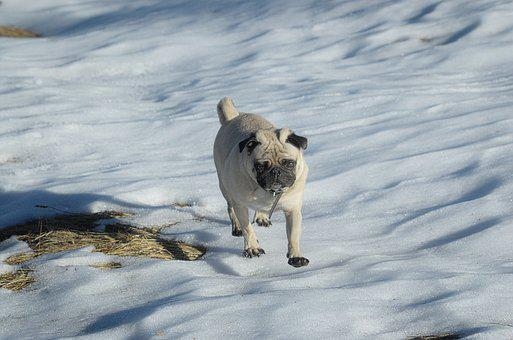Pug, Dog, Lap Dog, Snow, Race, Purebred Dog