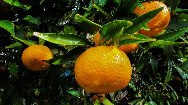 Mandarin, Fruit, Tangerine, Food, Fresh, Healthy