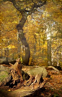 Tree, Beech, Autumn, Wood, Yellow, Forest, Light