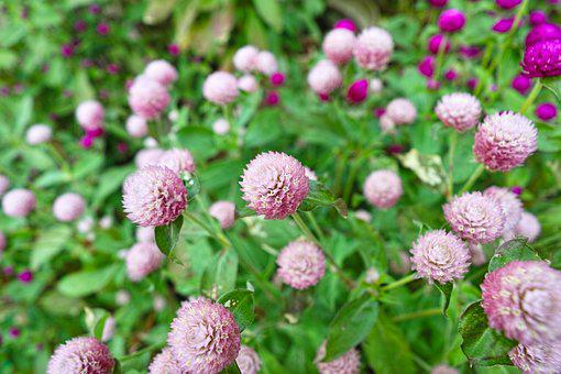 Globe Amaranth, Flowers, Plant, Wide Angle