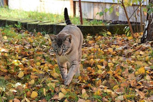 Cat, Fall, Leaves, Prowling, Feline, Stalking, Walking