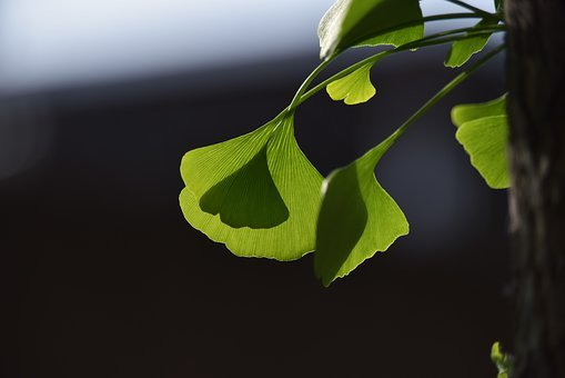 Ginkgo Trees, Light And Shadow, The Leaves, Ginkgo