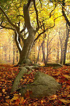 Tree, Forest, Autumn, Roots, Stone, Leaves, Nature