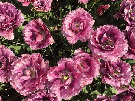 Tulips, Bulbs, Keukenhof, Spring, Merry, Bloom, Nice