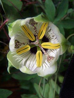 Passiflora, Creeper, Hybrid
