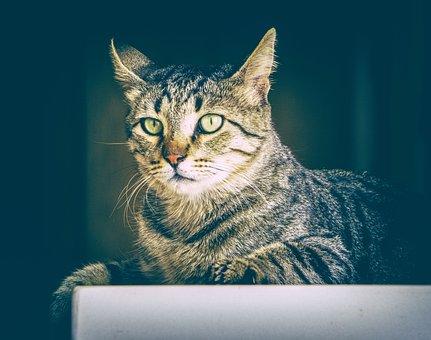 Cat, Animal, Cute, Pet, Kitten, Domestic, Funny, Feline