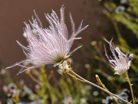 Apache Plume, Flower, New Mexico, Feathery