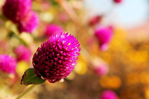 Flower, Globe Amaranth, Blooming, Vibrant, Macro