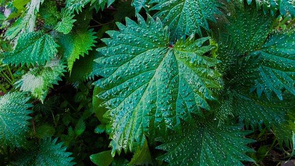 Nettle, Plant, Nature, Green, Flora, Leaf, Herb, Herbal
