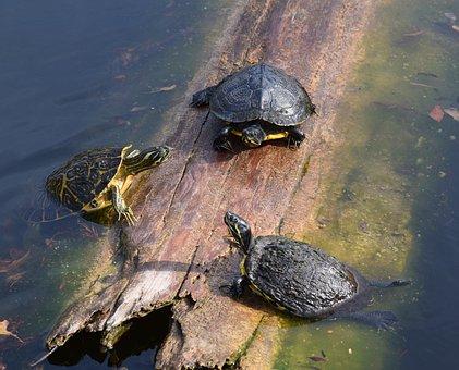 Turtles, Pond, Log, Water, Wildlife, Reptile, Animal