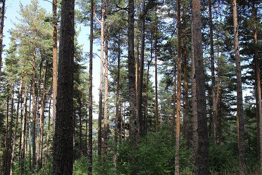 Pine, Trees, Koyunkır Village