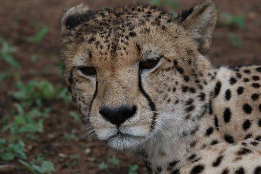 Cheetah, Zoo, Animal, Predator, Cat, Feline, Amakosi