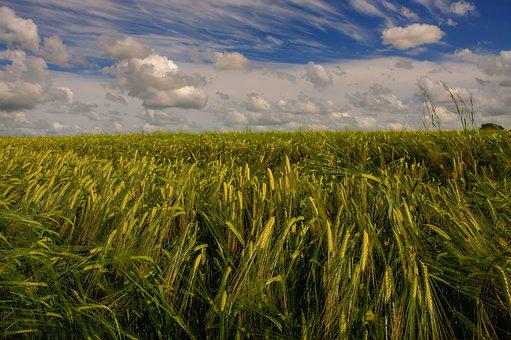 Fields Of Gold, Barley, Agriculture, Grain, Gold, Rural