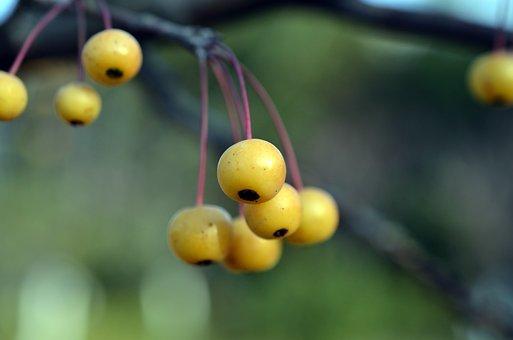 Crab Apples, Begonias, Cherry Apple, Berry, Yellow