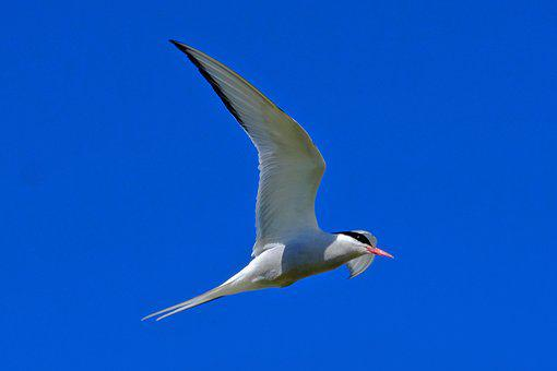 Sky, Bird, Tern, Fly, Blue, Blue Sky, Bird Flight, Wing