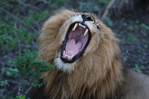 Lion, Roaring, Zoo, Mouth Open, Teeth, Dangerous