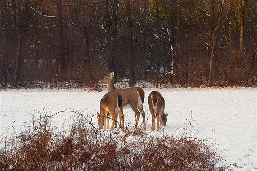 Deer, Snow, Sunlight, Herd, Winter, Cold, Female, Field