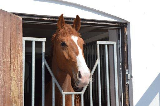 Horse, Worth, Head, Stallion, Equine, Warmblood
