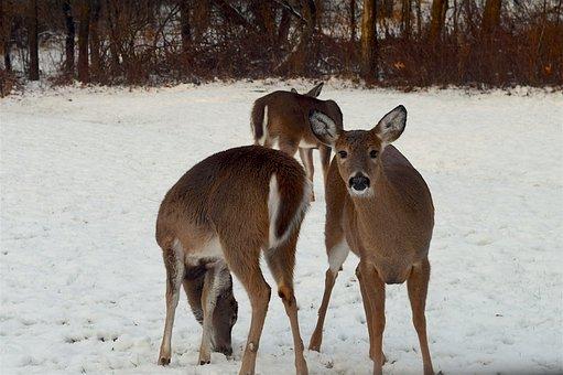Deer, Snow, Herd, Winter, Cold, Female, Field, Doe