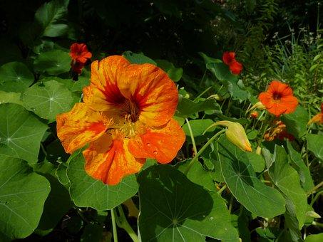 Tropaeolum Majus, Nasturtium, Flower