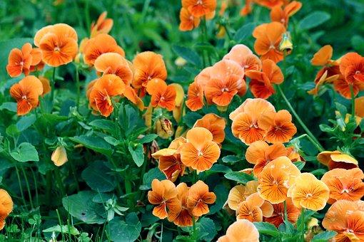 Pansies, Orange Violet, Flowers, Violets