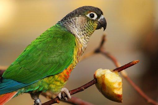 Bird, Parrot, Feeding, Color, Feather, Food, Madárféle