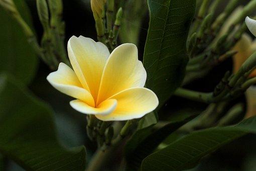 Plumeria, Flowers, Cambodia, Plant, Nature, Garden