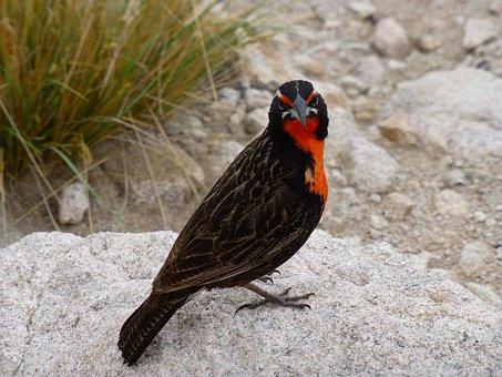 Loica, Ave, Bird, Feathers, Birds, Animals, Nature