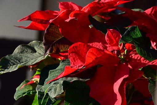Poinsettia, Euphorbia, Pulcherrima, Adventsstern
