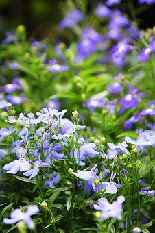 Taiwan Grass, Little Flower, Flower, Pink, Purple