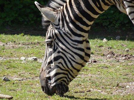 Zebra, Animal, Africa, Striped, Black And White