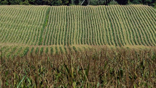 Corn, Harvest, Field, Agriculture, Cornfield, Autumn