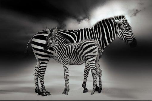 Zebra, Animal, Africa, Striped, Safari, Black And White