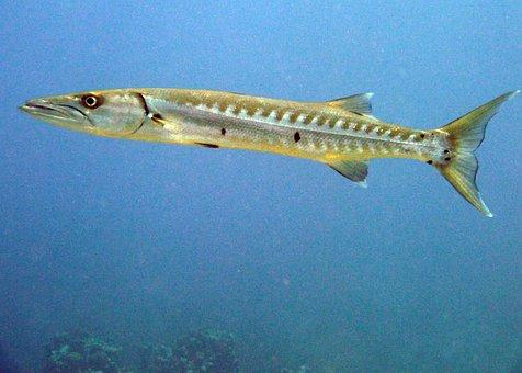Barracuda, Fish, Cayman Islands, Scuba, Sea Life