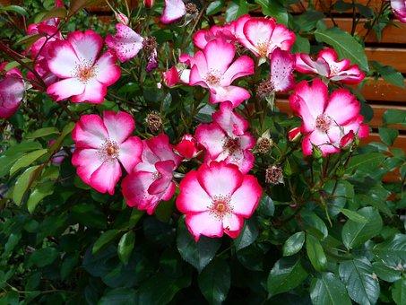 Rose, Shrub Rose Pretty Kiss, Bi Color, Red, White