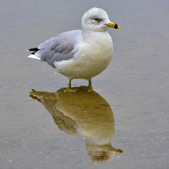 Seagull, Bird, Water, Mirror Image