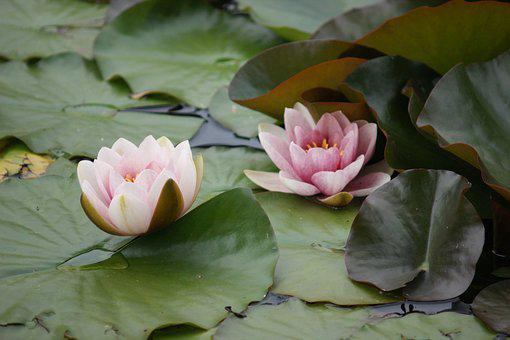 Water Lilies, Lake, Pond, Pools, Water, Flower, Blossom