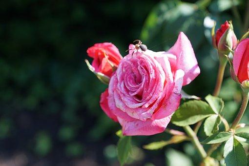 Rose, Flower, Insect, Spider, Botanical Garden