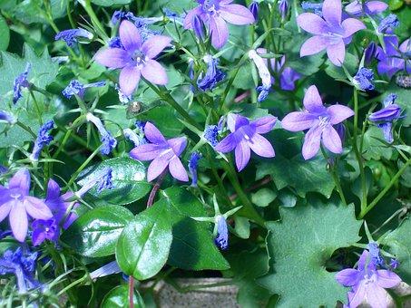 Campanules, Flowers, Blue, Flower Garden, Green Leaves
