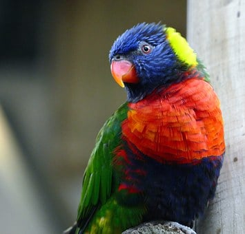 Bird, Lorikeet, Animal, Parrot, Rainbow, Colorful
