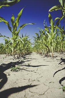 Corn, Field, Agriculture, Cornfield, Harvest, Arable