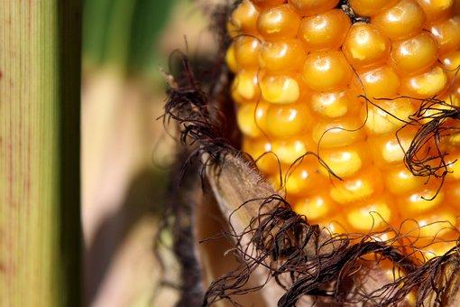 Corn, Corn On The Cob, Cornfield, Field, Piston, Yellow