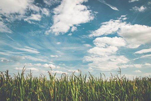Field, Corn, Air, Frisch, Agriculture, Cornfield