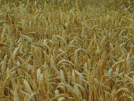 Field, Cornfield, On The Land, Cereals, Wheat Field
