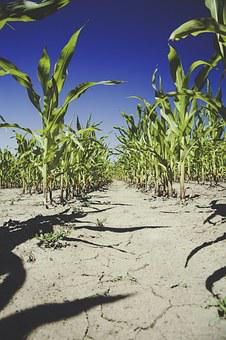 Corn, Field, Agriculture, Cornfield, Harvest, Arable