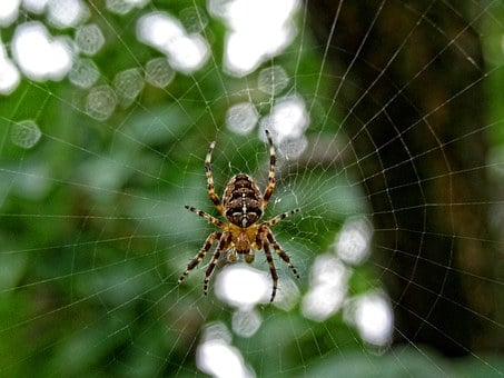 Spider, Insect, Crusader, Garden, Nature, Web