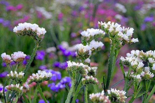 Sea lavender, Limonium, Flowers To Drying, Dry